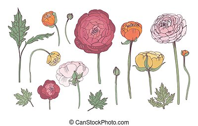 Hand drawn colorful floral elements set. Collection with ranunculus flowers.