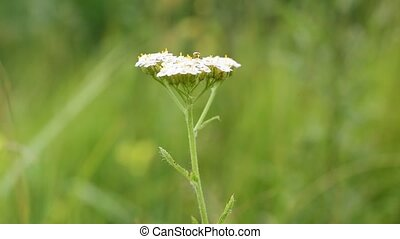 Flower of yarrow, milfoil or common yarrow - Yarrow, milfoil...