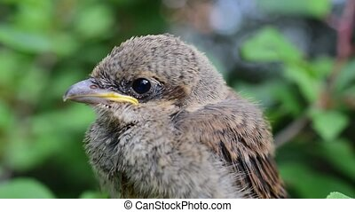 Closeup of whitethroat fledgeling in natural environment -...
