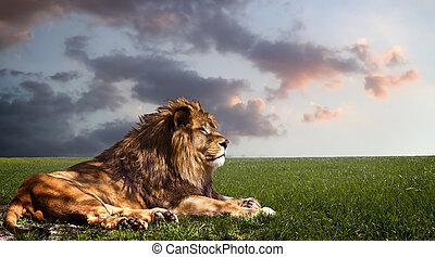 Powerful Lion resting at sunset The power of nature