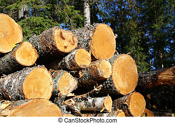 Stack of Birch Timber in Forest - A pile of Birch logs in...