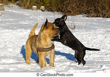 Two dogs playing in snow at winter