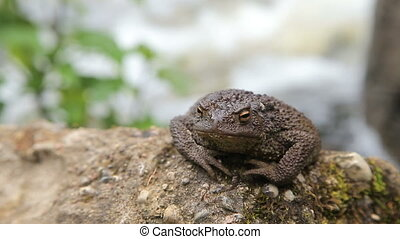 Toad basking on the rock by a river