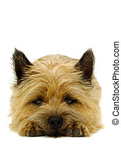 Resting puppy dog isolated on white - Sweet puppy dog is...