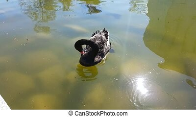 Black Swan Swimming in a Pond