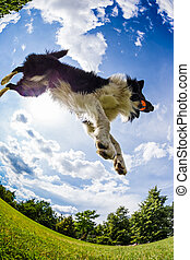 Border Collie jumping for the ball.