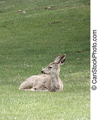 Repose - Little fawn resting on a grassy hillock