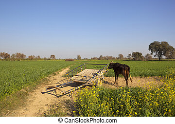 punjabi buffalo and cart - a punjabi buffalo and wooden cart...