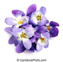 Violets flowers isolated .