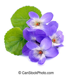 Violets flowers isolated