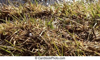 First spring grass moves from the wind. The bokeh from the...