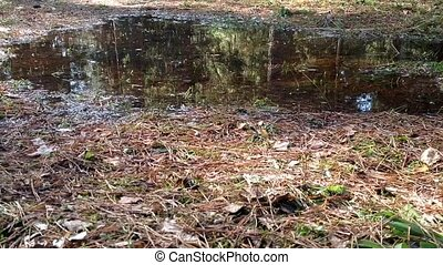 After the snow melts in the pine forest of standing water, puddle. The soil is very wet spring flood.