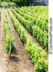 vineyard, Burgundy, France - vineyard near Brochon, Cote de...