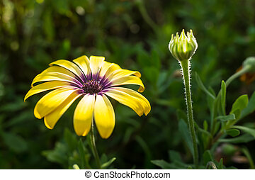 Yellow African Daisy - Beautiful Pink African Daisy Serenity...
