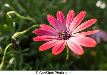Pink African Daisy - Beautiful Pink African Daisy Serenity...