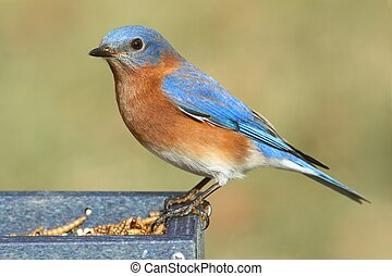 Male Eastern Bluebird (Sialia sialis) on a mealworm feeder