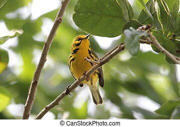Prairie Warbler (Dendroica discolor) perched in a tree