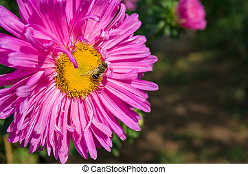 Bee on purple pink aster flower. Nature background