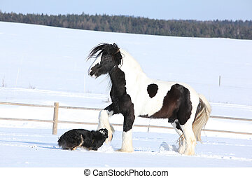 Nice border collie playing with a horse