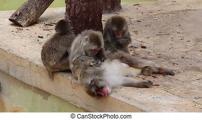 Monkeys disambiguation or grooming each other - Shot of...