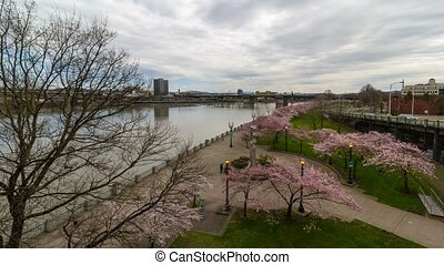 Timelapse in downtown Portland Or with cherry blossom trees spring season 4k uhd