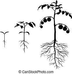 Set of silhouettes tomato plants