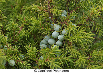 Juniper berries on bush close-up