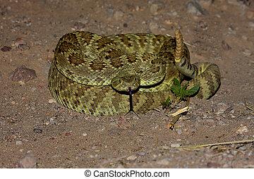 mojave,  scutulatus,  -, serpiente de cascabel,  Crotalus