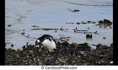 Gentoo Penguins walk back to the nest at Sounders , Falkland...