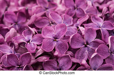 lilac flowers close up in studio