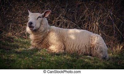 Sheep Chewing Cud In The Shade - Sheep lying in field in the...