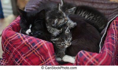 black cat is lying with little kittens, they are snuggled...