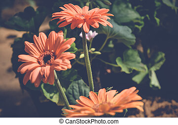 transvaal daisy, gerbera orange flowers
