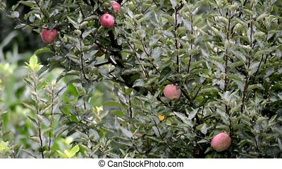 Apples on tree in Indian Hiamakayan village Kullu