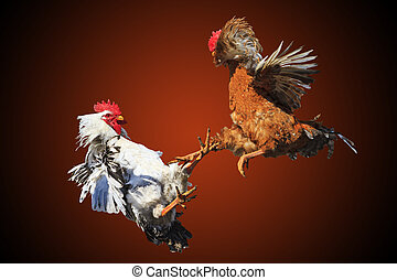 Rooster fight iisolated on black and red