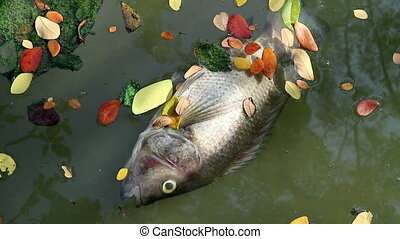 Dead fish and fallen leaves floating planktonic algae water