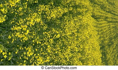 Blooming rapeseed - Blooming canola field at spring vertical...