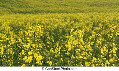 Blooming rapeseed - Closeup of a blooming canola field at...