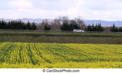 Rapeseed field and highway - Blooming canola field with...