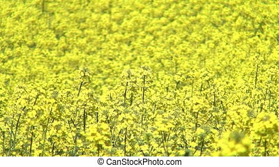 Blooming rapeseed - Blooming canola field at spring