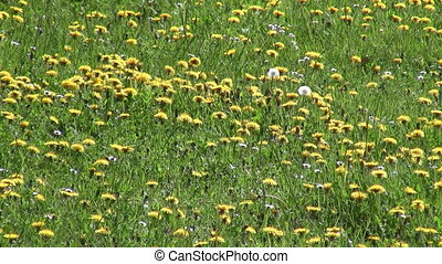 Dandelion field - Blooming field of dandelions at spring