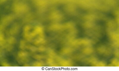 Blooming rapeseed field - Rack focus on a blooming rapeseed...