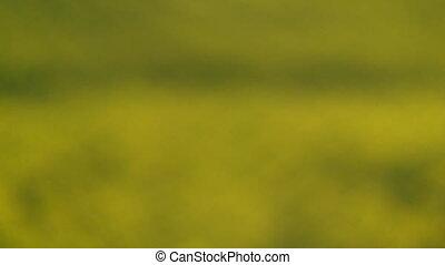 Blooming rapeseed field - Rack focus on a blooming rapeseed...