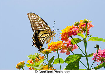 Colorful swallowtail butterfly flying and feeding on flowers...