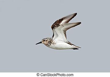 Sanderling (Calidris alba) - Sanderling in flight with blue...