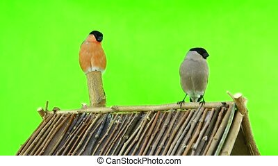 bullfinch on a green screen