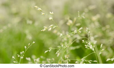 Macro shot of grass with seeds in a light breeze, shallow...
