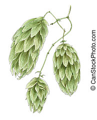 Common hop (Humulus lupulus) cones botanical drawing over...