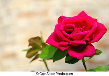 single red rose flower perfumated - A fresh red rose in a...