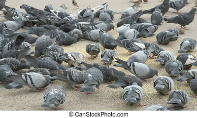 Flock of pigeons eating switchgrass on street of city in...